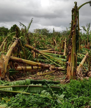 Les exploitations du Nord de la Nouvelle-Calédonie, comme ici à Ouégoa, ont souffert du cyclone Oma.
