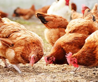 Ce projet de couvoir et d'abattoir s'intègre dans la politique publique agricole provinciale qui vise l'augmentation de la production de poulets standards de 8 % à 30 %.