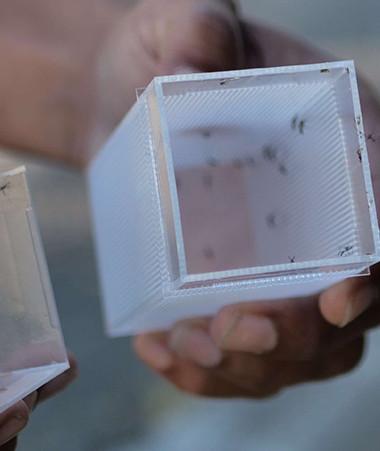 Lâcher de moustiques porteurs de Wolbachia (©WMP).