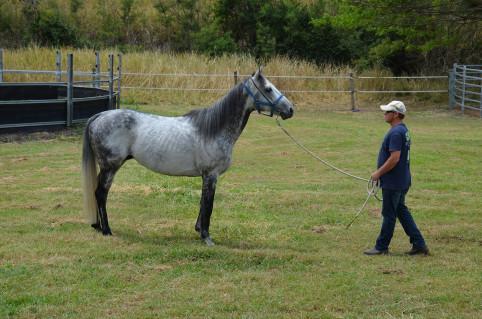 Boxer, étalon pur-sang âgé de 7 ans, a pris ses quartiers à l'étalonnerie. « Il offre un grand espoir pour la lignée des chevaux de course en Nouvelle-Calédonie », selon le directeur du Conseil du cheval, Philippe Guichard.