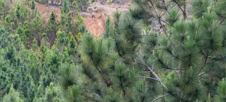 Le gouvernement a pris un arrêté portant agrément du pinus de Nouvelle-Calédonie en tant que produit naturel destiné, après transformation, à être employé comme matériau de construction.